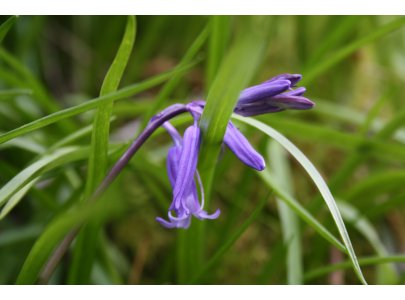 Bluebells are a feature of Glen Loin Woods in Spring