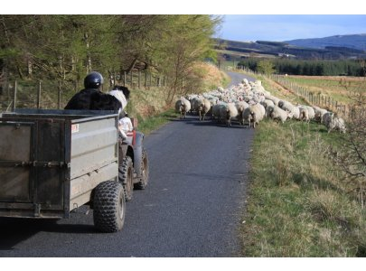 Glen Fruin Sheep