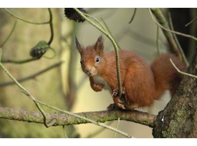 Glen Loin Woods are home to Red Squirrels