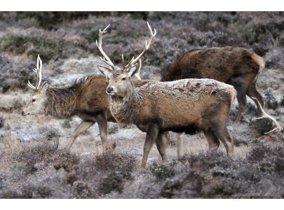 Red Deer are common north of Glen Fruin