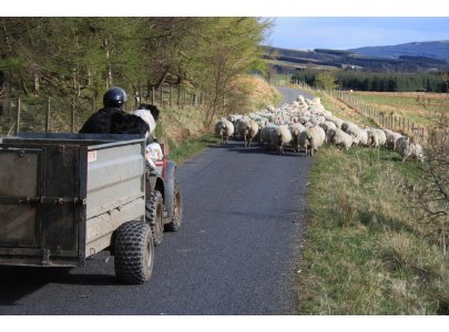 TLW Stage 2,  Sheep in Glen Fruin